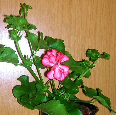 Купить комнатные цветы герани в интернет магазине недорого почтой парковые розы фото с названиями купить