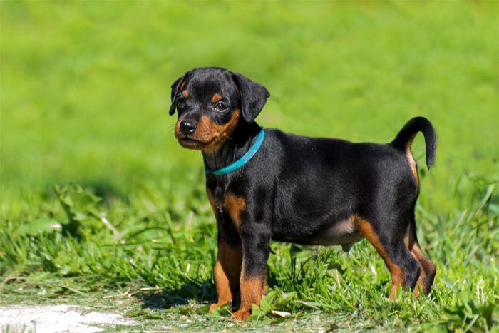 Фото к объявлению: карликовый пинчер подрощенный щенок